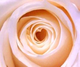 heart centred rose