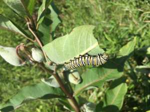 Monarch catepillar enjoying a milkweed feast--they know the good stuff when they see it!