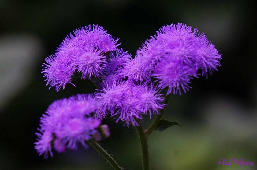 intense purple