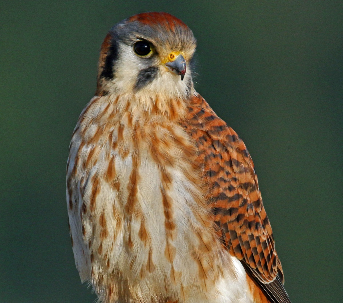 A New Year – Washington Birding in January2019