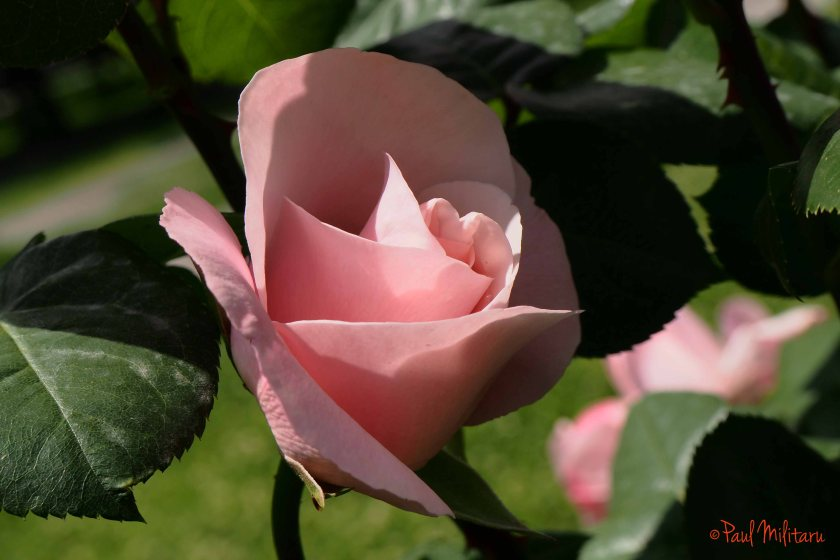 scented pink rose