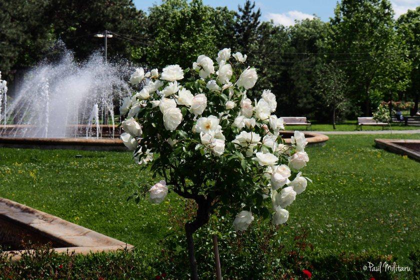 white roses shrub