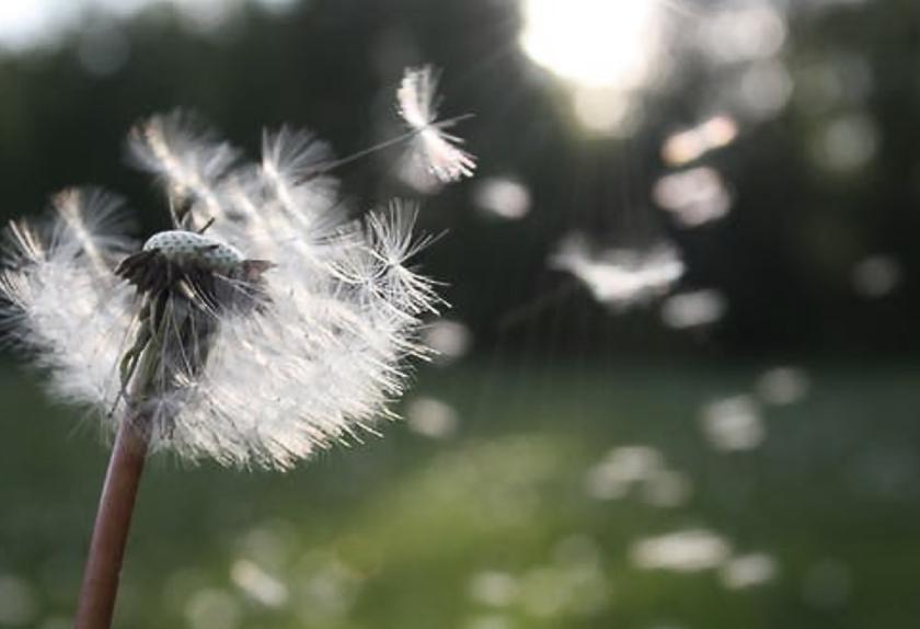 DandelionSeed