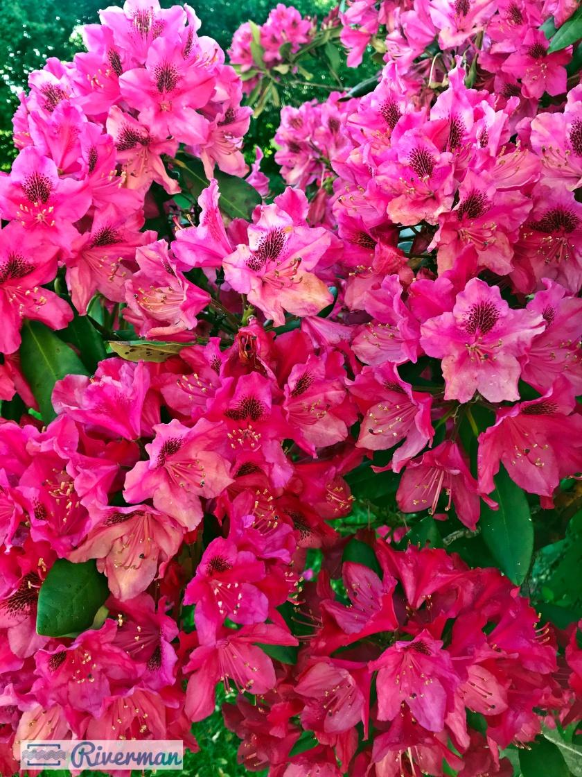 Rhododendrons 6.12 2019.jpg